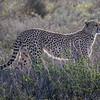 Cheetah watching zebras in Ndutu, Tanzania, East Africa