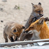 A Red Fox Kit & Mama 4/21/21