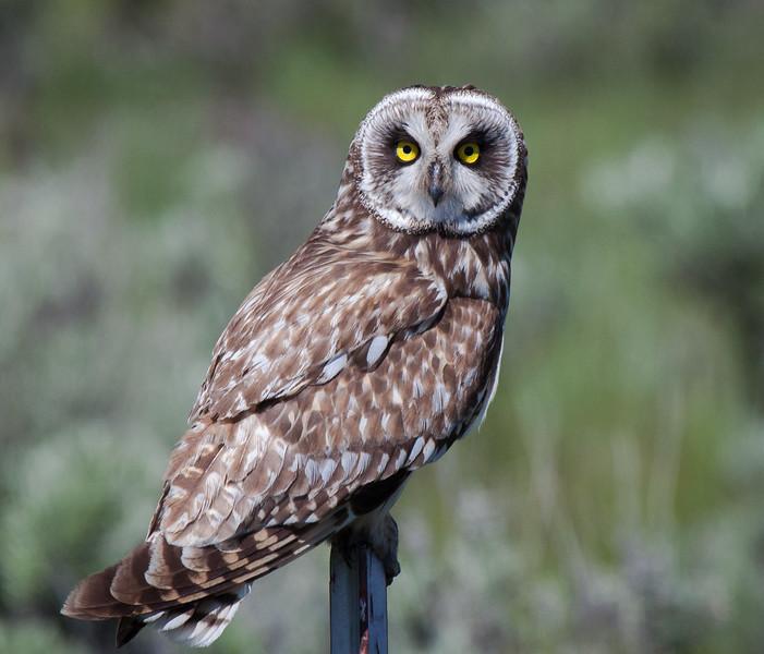 Short Eared Owl 0253