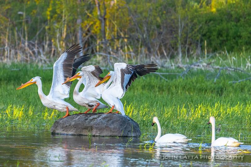 Trumpeter Pair Startles Pelicans
