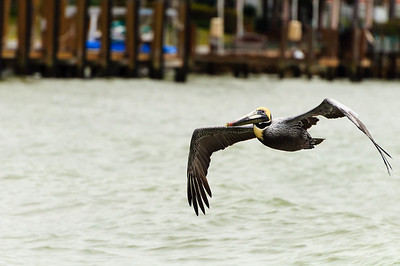 Flight of the Pelican