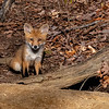 A Red Fox Kit 5/2/20