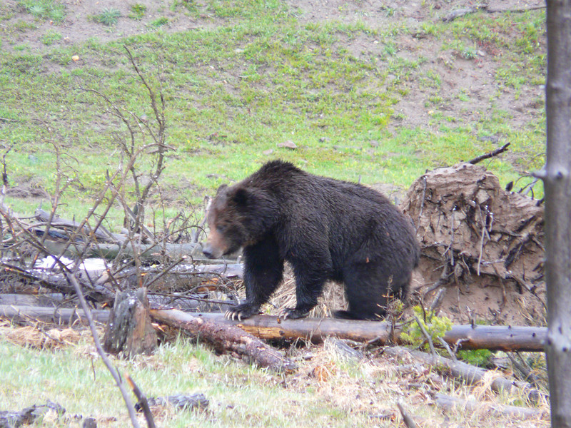 Grizzly Bear near Sedge Bay on Yellowstone Lake