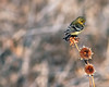 Lesser Goldfinch Bokeh Batik Tighter Crop