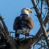 Bald Ealge in Nest