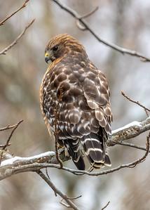 Red-Shouldered Hawk 3/1/19