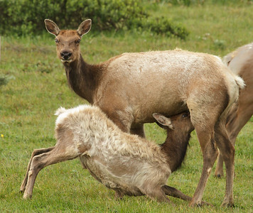 Tule Elk mother and babe, Pt. Reyes