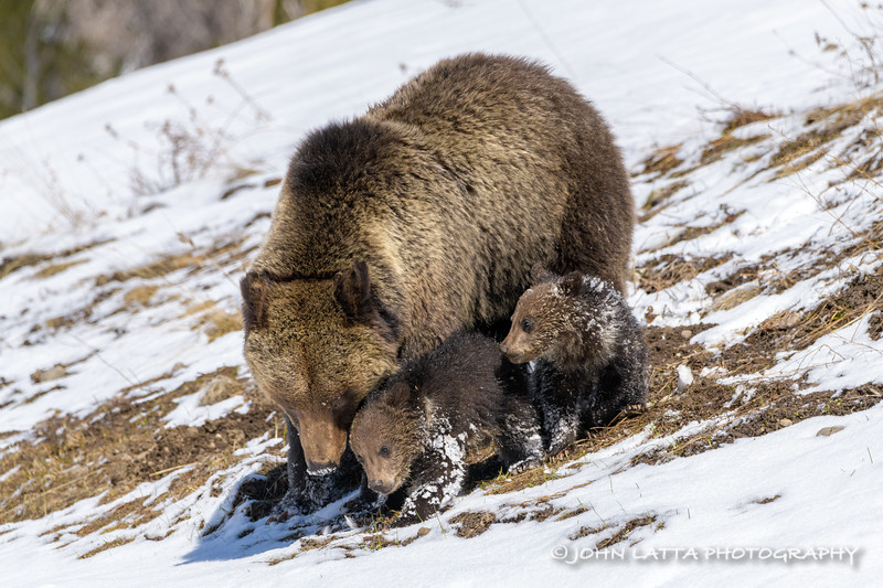 After Emerging from Their Den, A Grizzly Sow Forages, Her Cubs Imitate and Learn