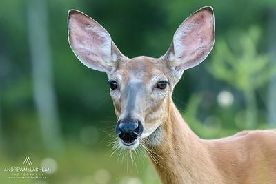 White-tailed Deer (Odocoileus virginianus) doe