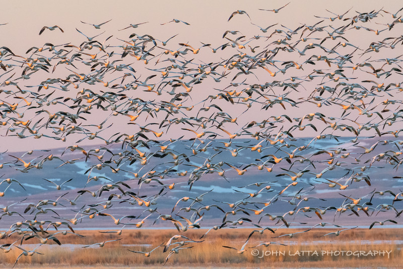 Snow Geese Morning Flyout