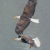 Bald Eagles Vying for Kokanee
