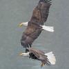 Bald Eagles Vying for Kokanee