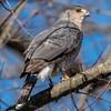 Cooper's Hawk 11/27/16