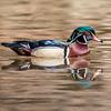 Wood Duck 3/29/17