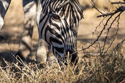 Zebra,KwaZulu-Natal