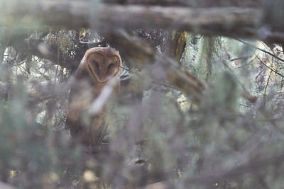 Barn Owl at Point Reyes
