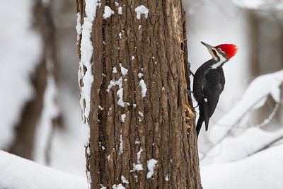 Pileated in the Snow