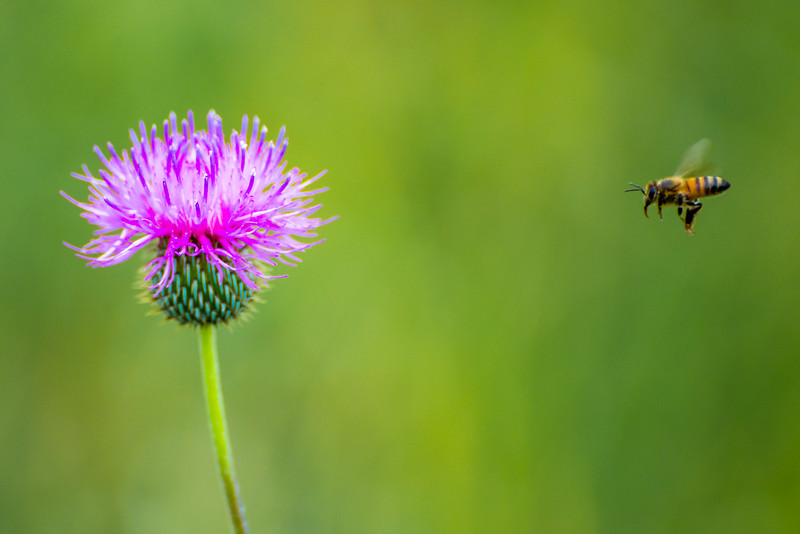 Honey Bee and a Texas Thistle