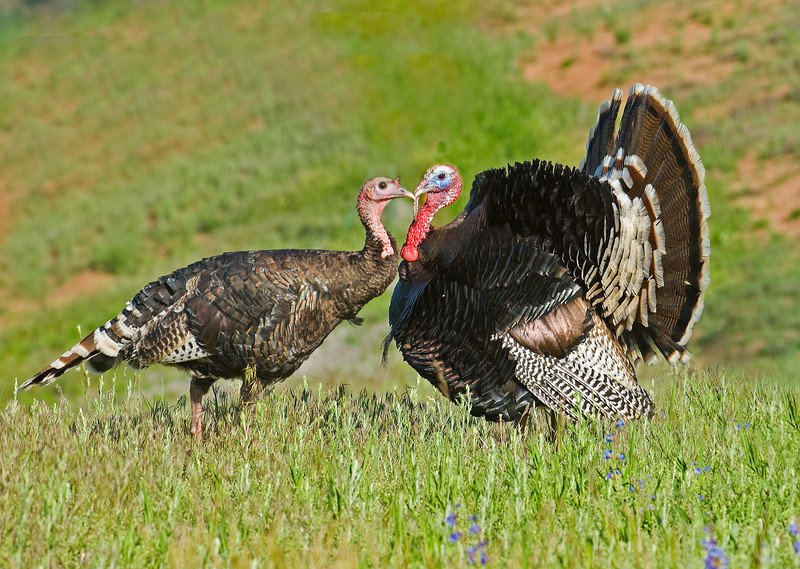 Wild Turkeys (Meleagris gallopavo), a Gobler and a Hen, make each others acquaintance.  Springtime in the Colorado foothills.