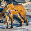 A Tired Mama Red Fox 5/18/21