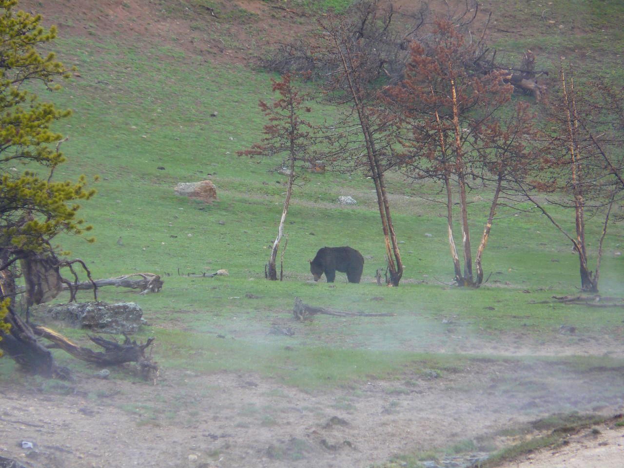 Grizzly Bear near Sedge Bay on Yellowstone Lake