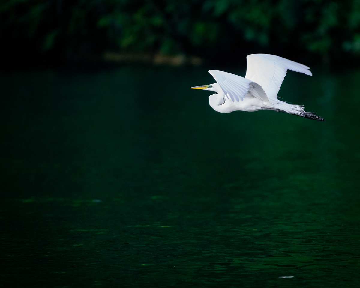 An egret in motion tends to stay in motion along the Rio Dulce's bank.  Guatemala 2016.
