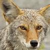 Coyote Yukon Territory, Canada.