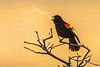 Red-winged Blackbird with Breath