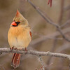 Female Northern Cardinal #2