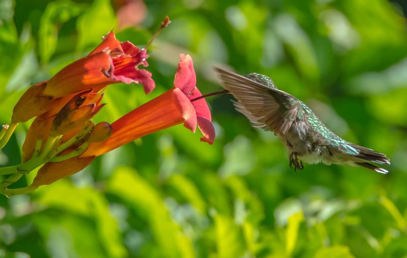 Ruby-Throated Hummingbird 7/12/16