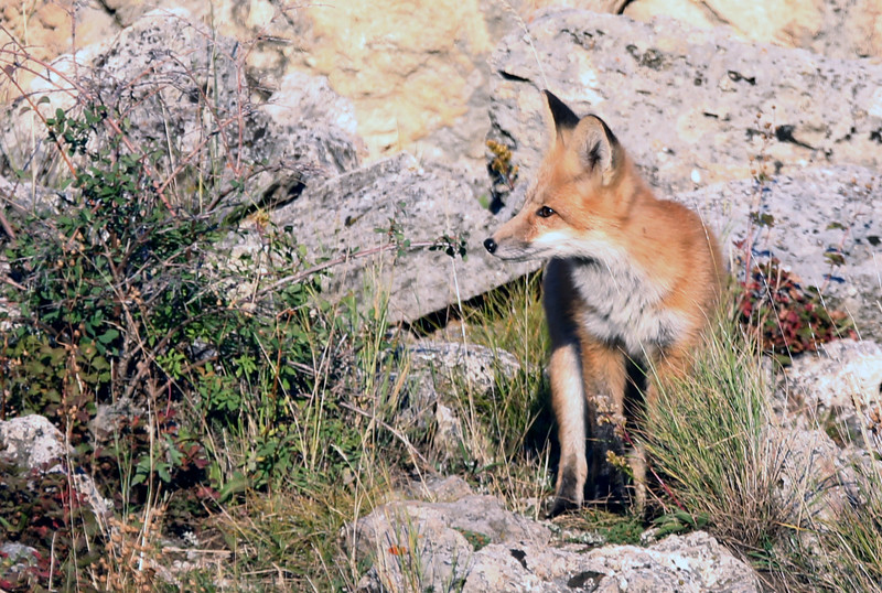 Fox - Yellowstone National Park