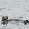 Sea Otter, Monterrey Bay, California