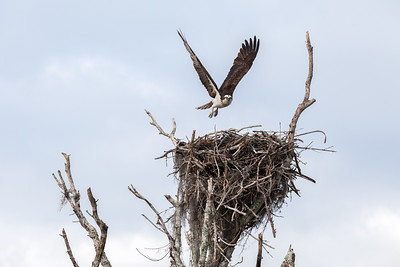 Florida Everglades Osprey Approaching Nest