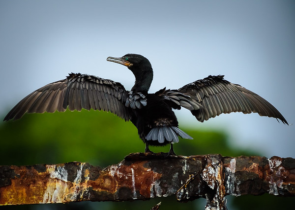 A double crested cormorant dries itself on a rusting industrial support while recovering from its latest dive into the waters of the Rio Dulce.  Guatemala 2016.