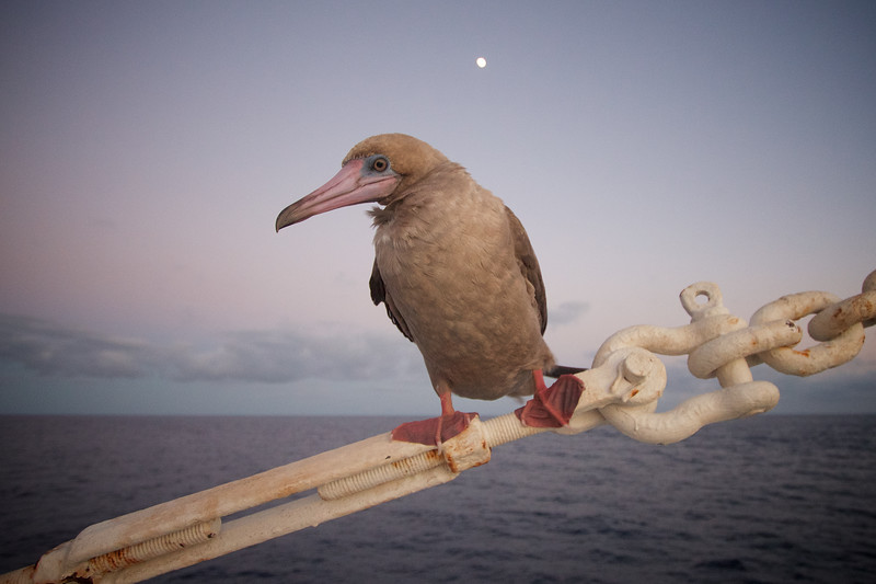Red Footed Booby Under a Full Moon