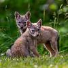 Coyote Pups 6/6/20