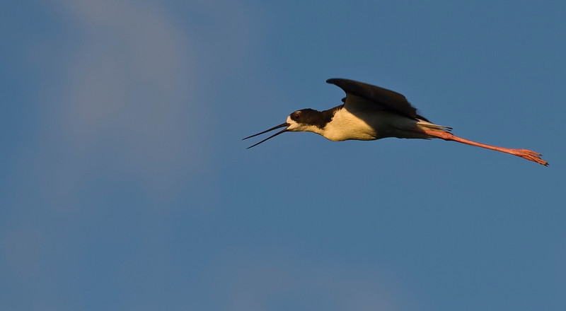 Ae'o - Hawaiian Stilt (endangered)