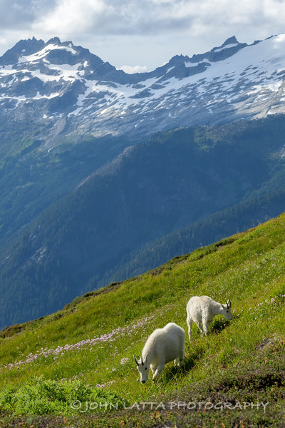 Mountain Goats in a Meadow