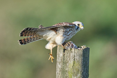 Kestrel Slipping Off Post
