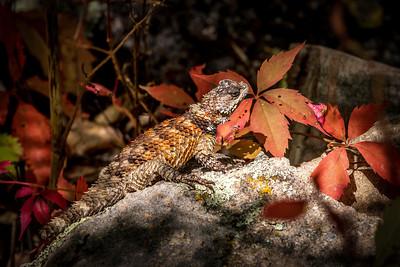 Crevice Spiney Lizard