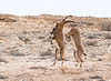 Sparring Male Ibex in Natural Habitat
