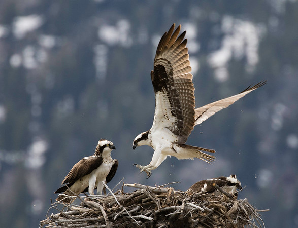 Osprey nest | Moose, Wyoming