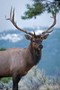 Portrait of A Bull Elk