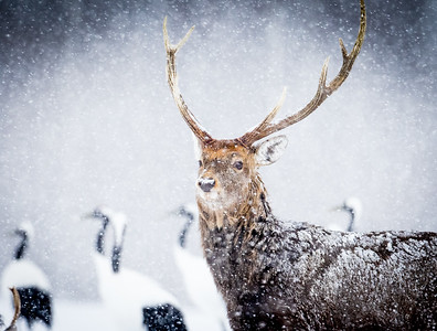 Ezo Deer in snow