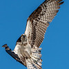 Osprey Changing Course in Flight 5/7/17