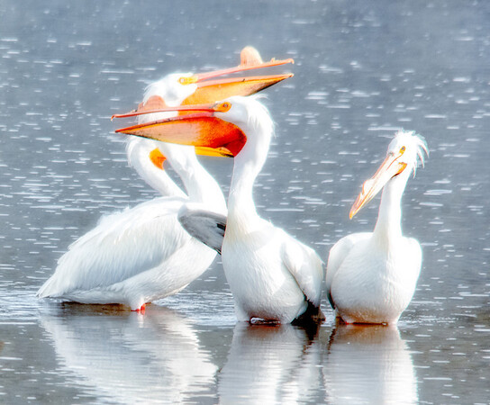 Pelicans on the Yellowstone River