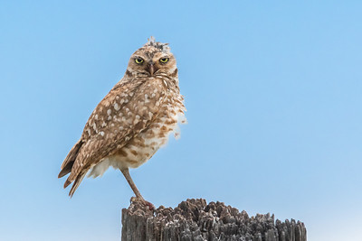 Burrowing Owl's Rough Day