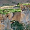 56 - Lions, Denver Zoo