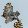 Great Gray Owl on Final Approach