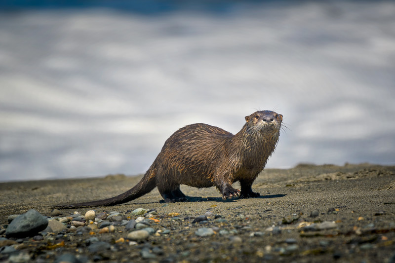River Otter comes ashore on the Dungeness Spit at Strait of Juan de Fuca, Washington State